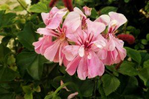macro, Pink flowers