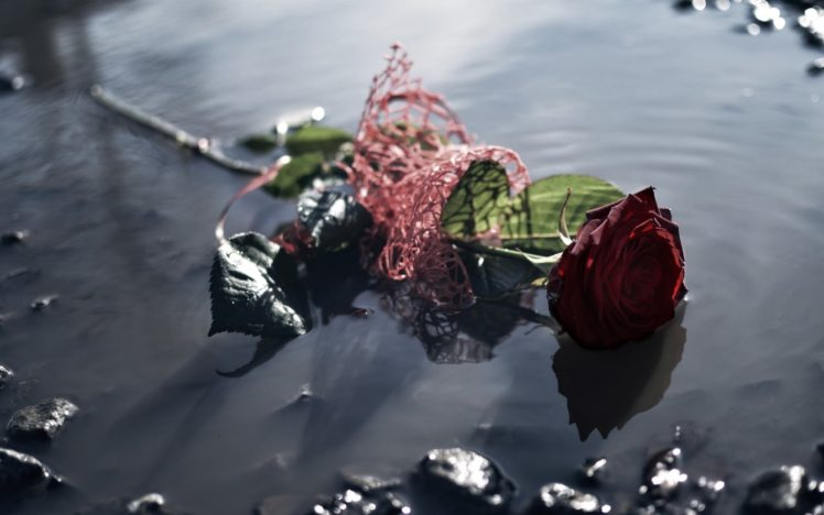 water, Flowers, Rose HD Wallpaper Desktop Background