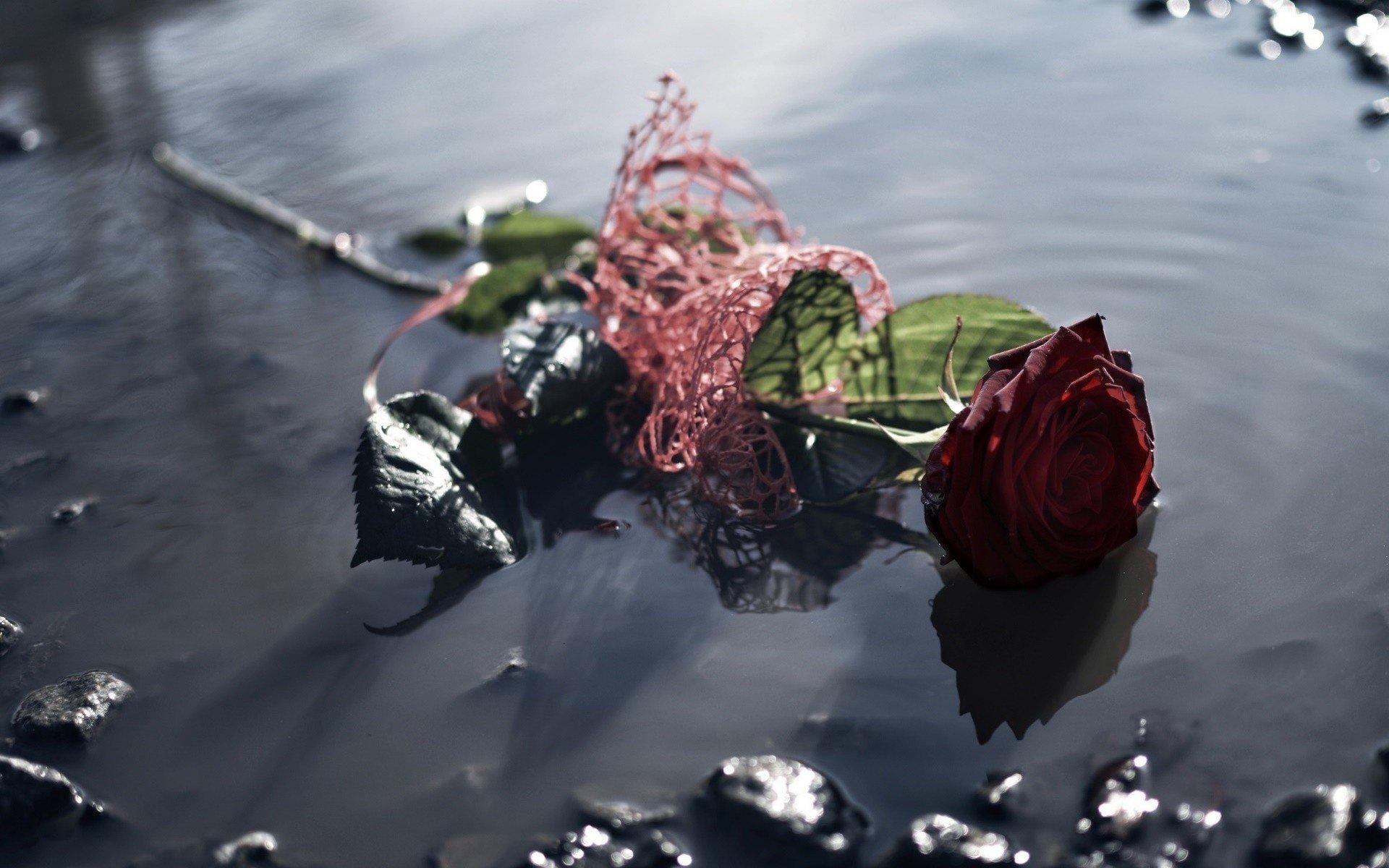 water, Flowers, Rose Wallpaper