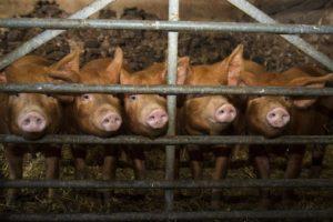 pigs, Animals
