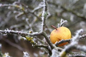 winter, Branch, Cold, Ice, Apples