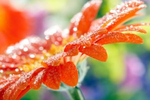 water drops, Flowers