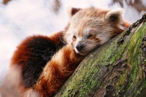 animals, Wildlife, Red panda