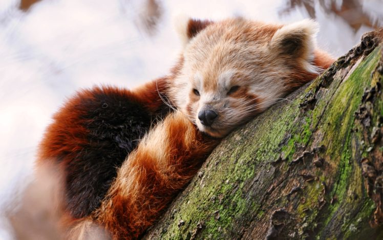 Animals Wildlife Red Panda Hd Wallpapers Desktop And Mobile Images Photos