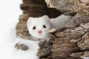 Weasel, Snow, Landscape, Wildlife, Animals