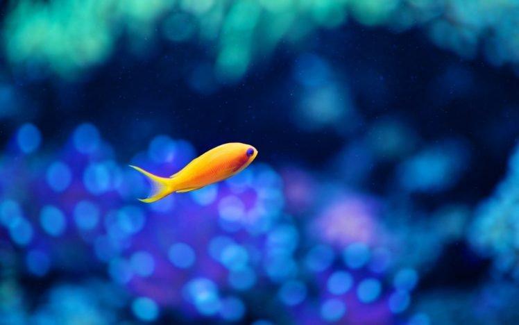 fish, Bokeh, Water, Goldfish HD Wallpaper Desktop Background