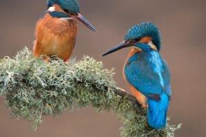 kingfisher, Birds, Branch