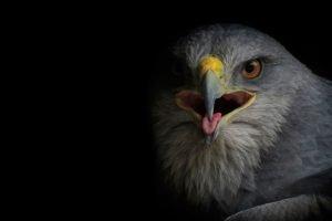 birds, Eagle