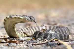 snake, Reptiles, Australia, Cobra