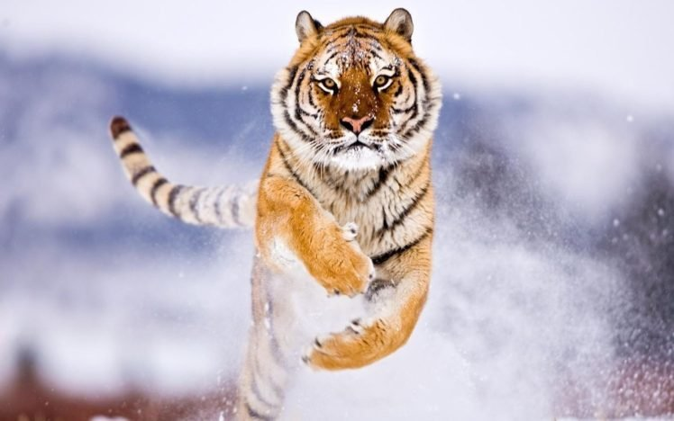 Tiger Hd Wallpapers Desktop And Mobile Images Photos