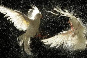 dove, Birds