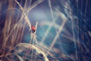 closeup, Ladybugs