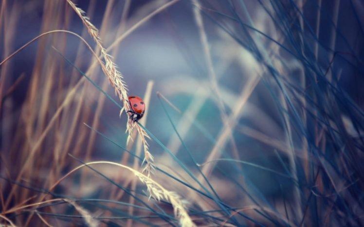 closeup, Ladybugs HD Wallpaper Desktop Background