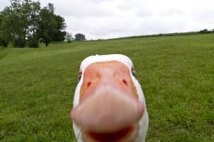 geese, Memes
