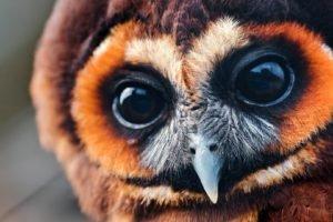 birds, Owl, Closeup