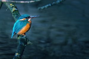 birds, Branch, Kingfisher