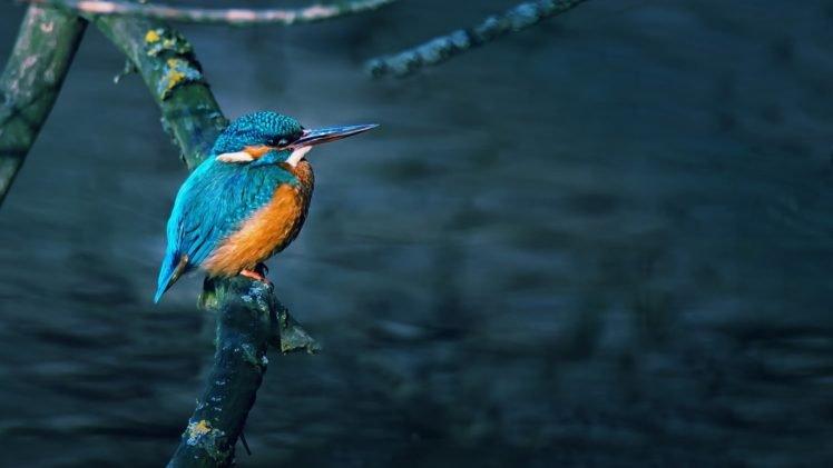 birds, Branch, Kingfisher HD Wallpaper Desktop Background