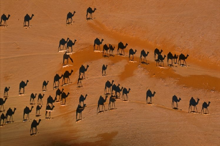 camels, Desert HD Wallpaper Desktop Background