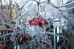 Russia, Winter, Snow, Rowan, Rowanberry, Snowflakes, Closeup, Macro