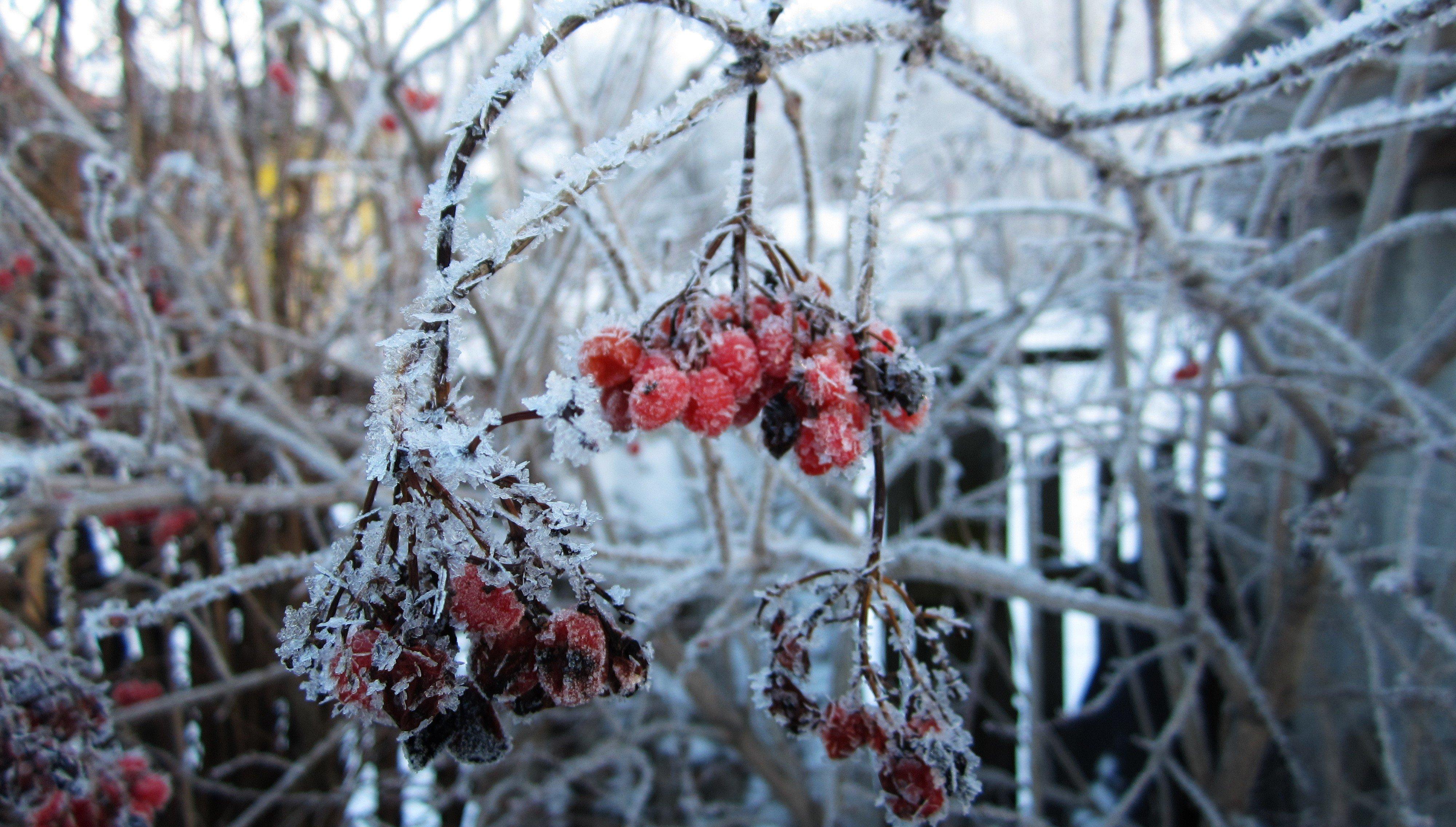 природа мороз рябина зима ветки еда ягоды  № 457112  скачать