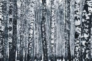Russia, Winter, Birch, Monochrome, Trees, Forest