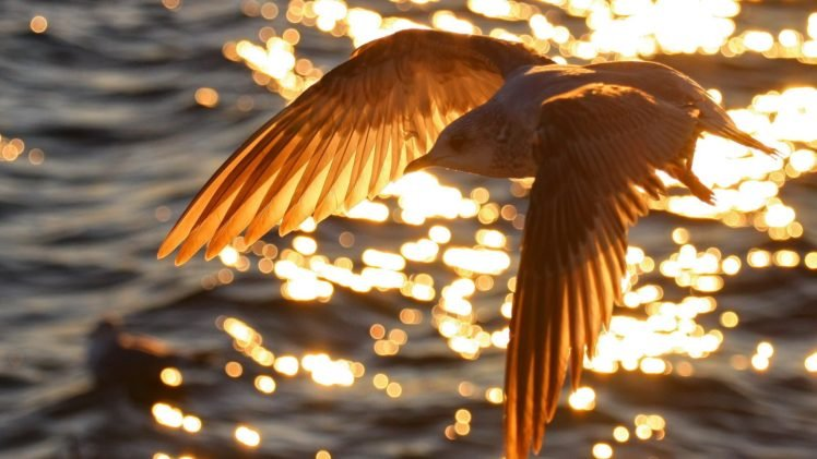 birds, Bokeh, Sunlight, Water, Flying HD Wallpaper Desktop Background