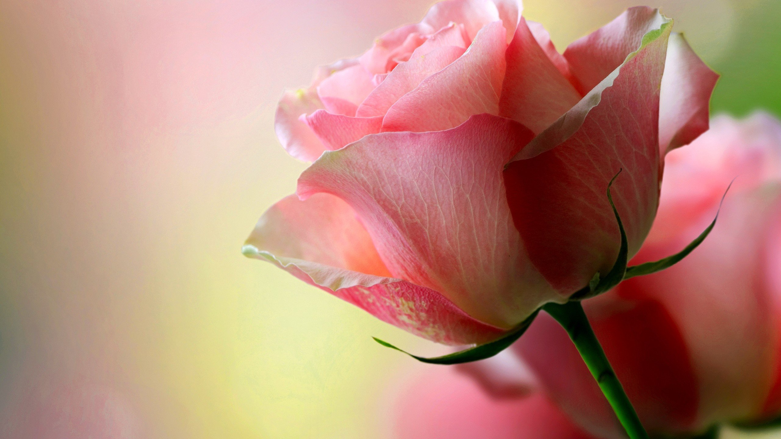 Rose pink roses hd wallpapers desktop and mobile images - Rose flowers wallpaper for mobile ...