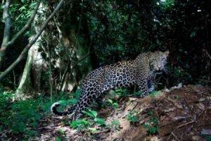 big cats, Jaguars