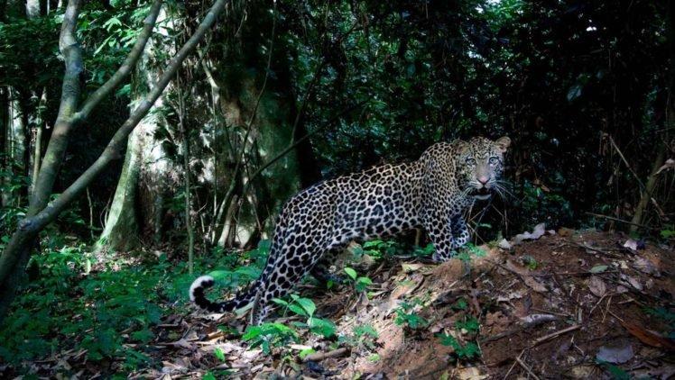 big cats, Jaguars HD Wallpaper Desktop Background