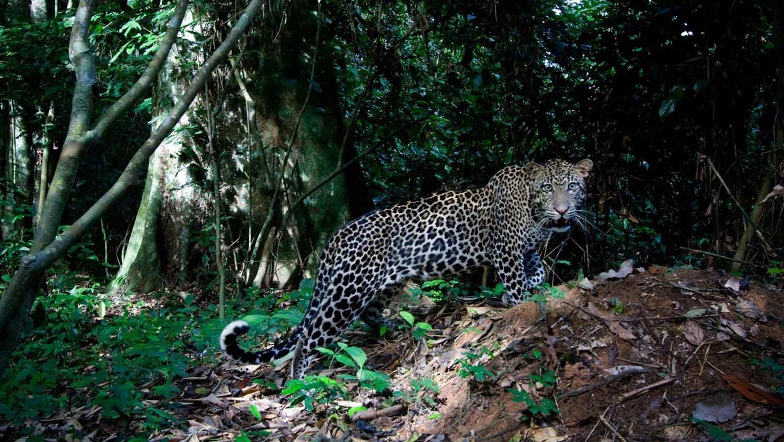 big cats, Jaguars Wallpaper