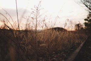 photography, Depth of field, Corn