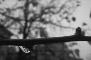 monochrome, Rain, Water drops, Upside down, Trees, Branch, Blurred, Golden ratio