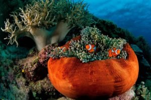sea anemones, Clownfish, Fish, Underwater, National Geographic