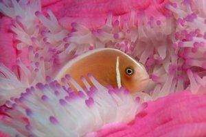 sea anemones, Fish