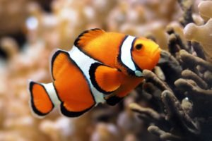 clownfish, Fish, Underwater, Coral