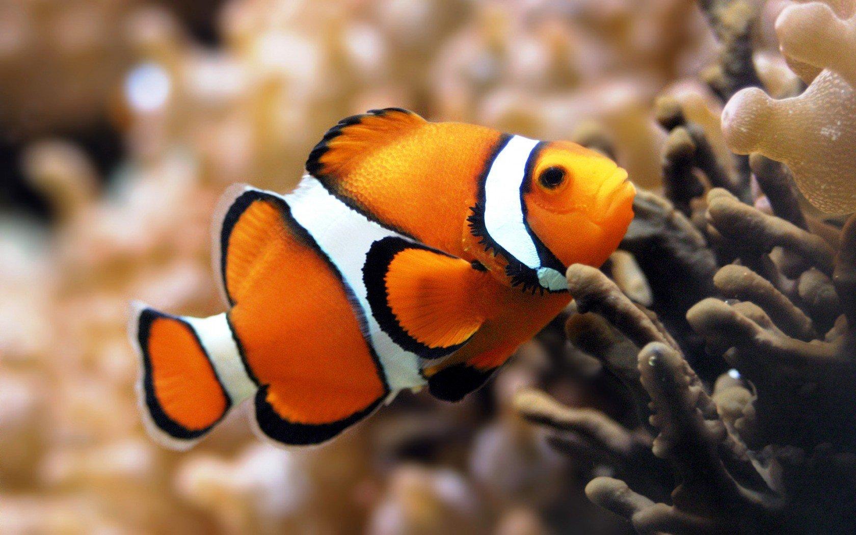 clownfish, Fish, Underwater, Coral HD Wallpapers / Desktop ...