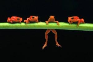 frog, Amphibian