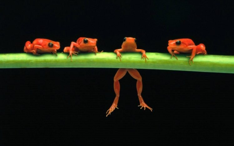 frog, Amphibian HD Wallpaper Desktop Background