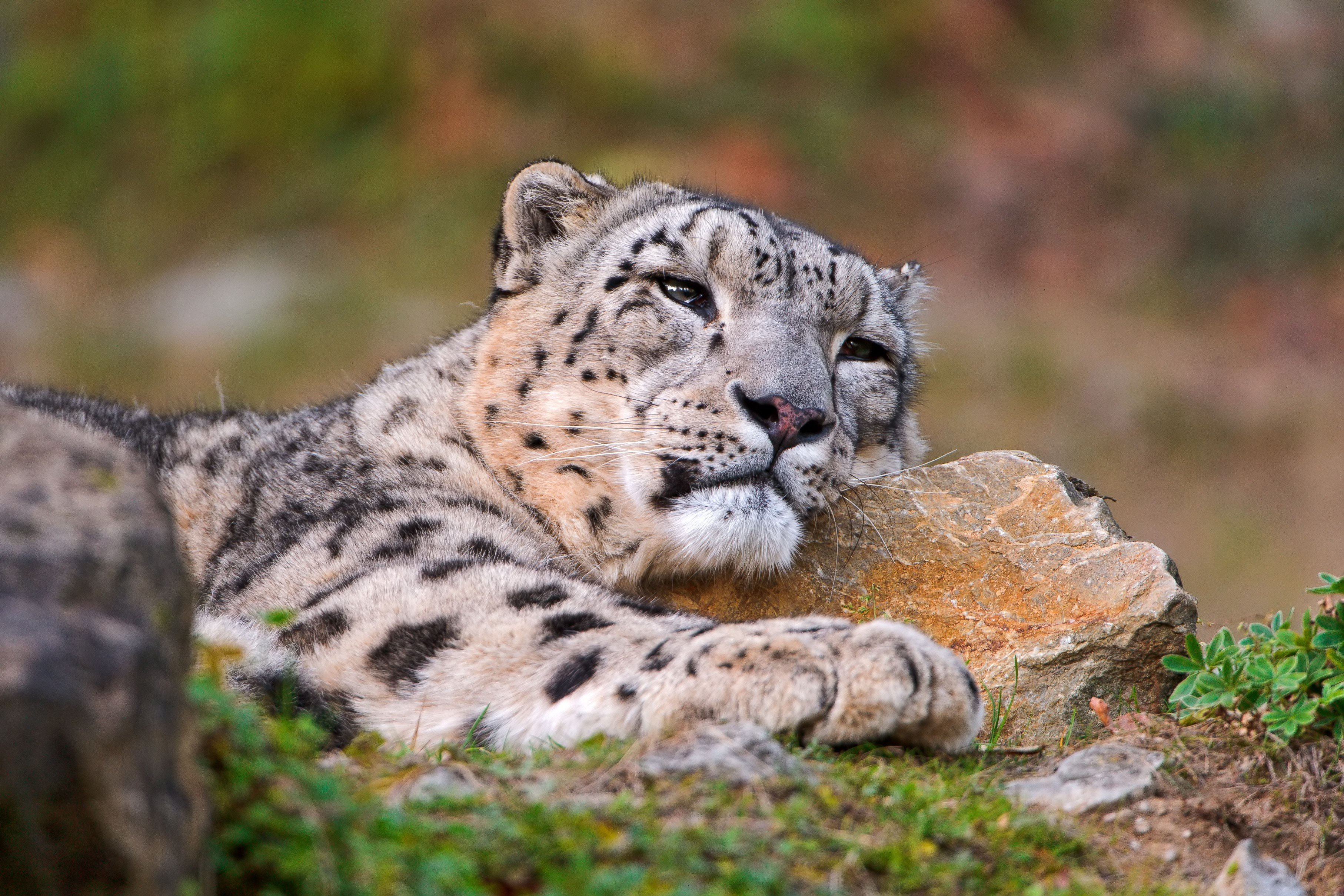 snow leopards HD Wallpapers / Desktop and Mobile Images ...