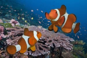 fish, Coral, Clownfish, Underwater