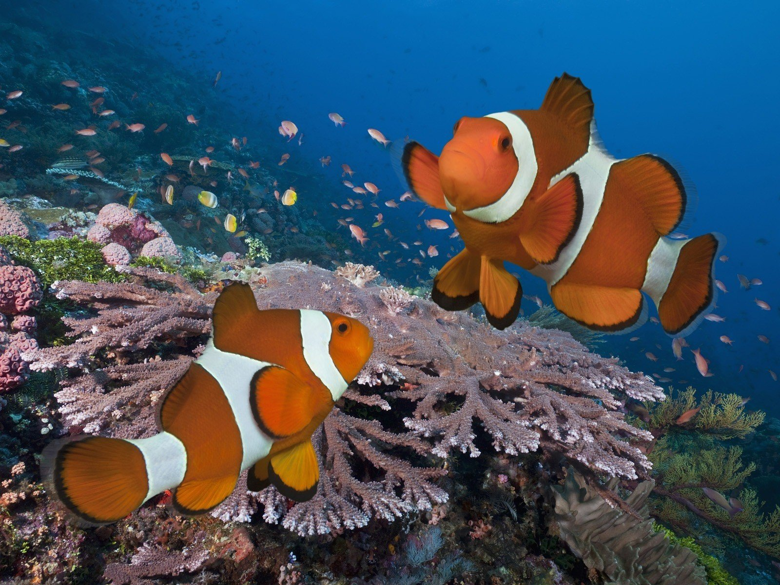 fish, Coral, Clownfish, Underwater HD Wallpapers / Desktop ...