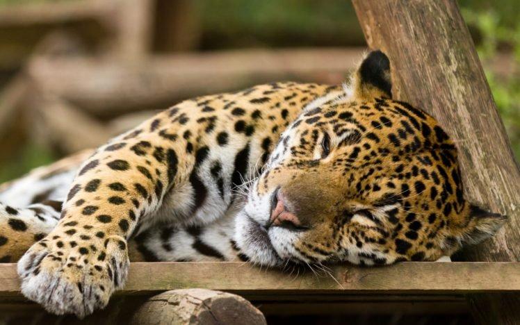 leopard HD Wallpaper Desktop Background