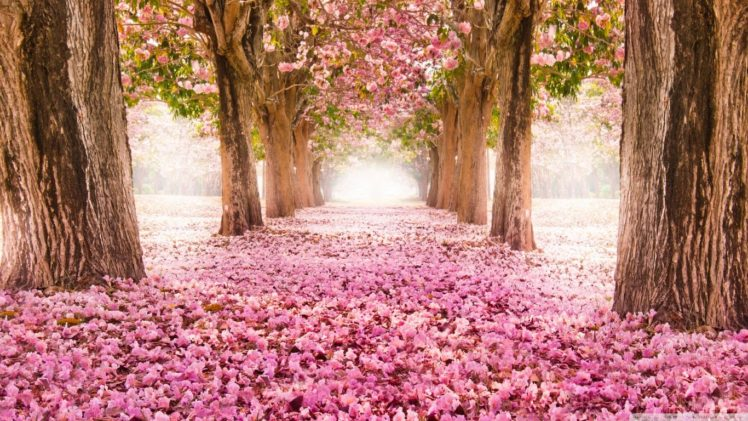 Cherry Blossom Hd Wallpapers Desktop And Mobile Images