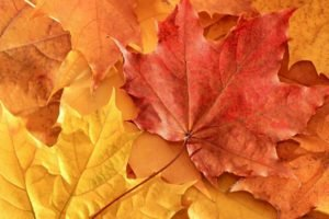 maple leaves, Leaves, Fall