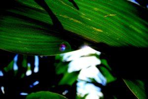 corn, Wisconsin, Lens flare, Sunlight