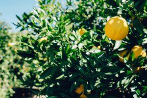orange, Orange (fruit), Trees, Leaves