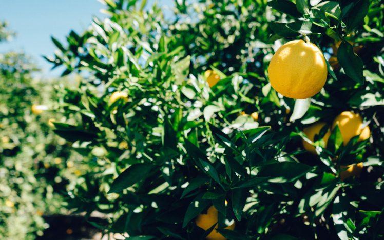 Orange Fruit Trees Leaves HD Wallpaper Desktop Background