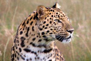 leopard, Wildlife, Savannah