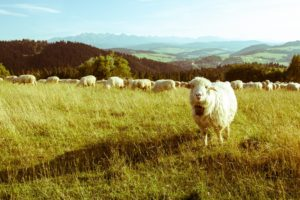 sheep, Mountains