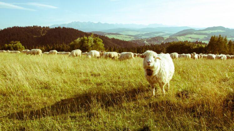 sheep, Mountains HD Wallpaper Desktop Background